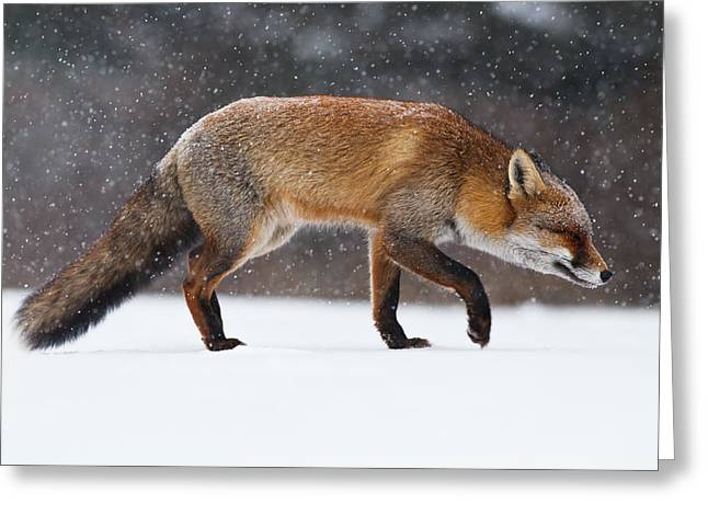 Vulpes Greeting Cards - Red fox trotting through a snowshower Greeting Card by Roeselien Raimond