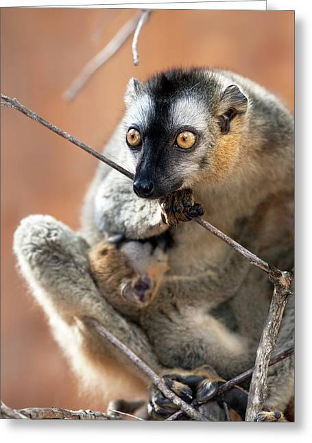 Red-fronted Brown Lemur And Infant Greeting Card by Alex Hyde