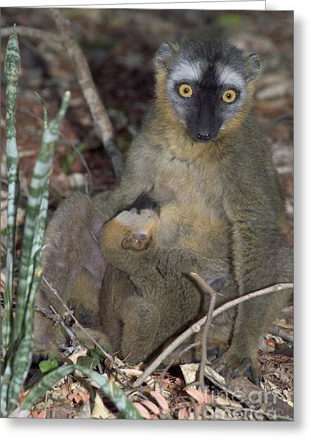 Suckle Greeting Cards - Red-fronted Lemur Greeting Card by Gregory G. Dimijian