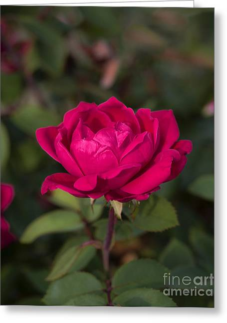 Space Flower Greeting Cards - Red garden rose Greeting Card by John Greim