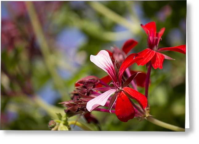 Red Geraniums Greeting Cards - Red Geranium Greeting Card by Alfredia Mealing