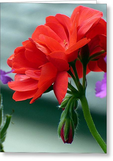 Red Geraniums Greeting Cards - Red Geranium Greeting Card by Nicki Bennett