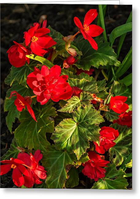 Red Geraniums Greeting Cards - Red Geranium Greeting Card by Steve Harrington