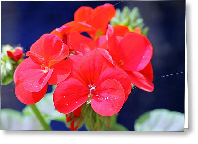 Red Geraniums Greeting Cards - Red Geranium Greeting Card by Tony Murtagh