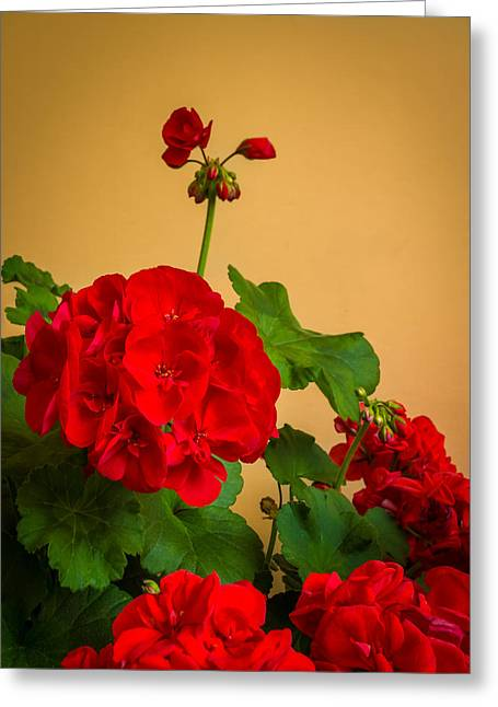 Red Geraniums Greeting Cards - Red Geranium with Buds in Italy Greeting Card by Ken Nelson