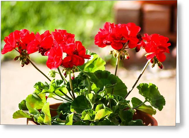 Red Geraniums Greeting Cards - Red Geraniums Greeting Card by Cynthia Woods
