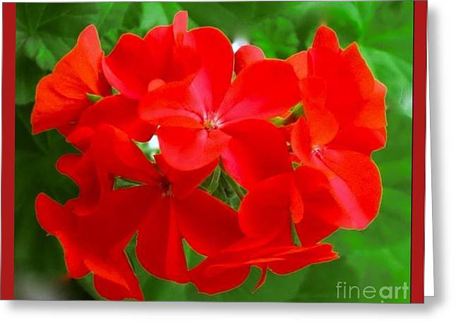 Red Geraniums Greeting Cards - Red Geraniums Greeting Card by Joan-Violet Stretch