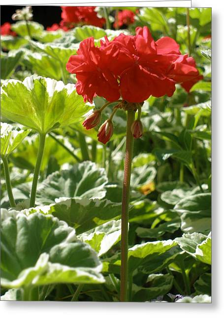 Red Geraniums Greeting Cards - Red Geraniums Greeting Card by Josephine W