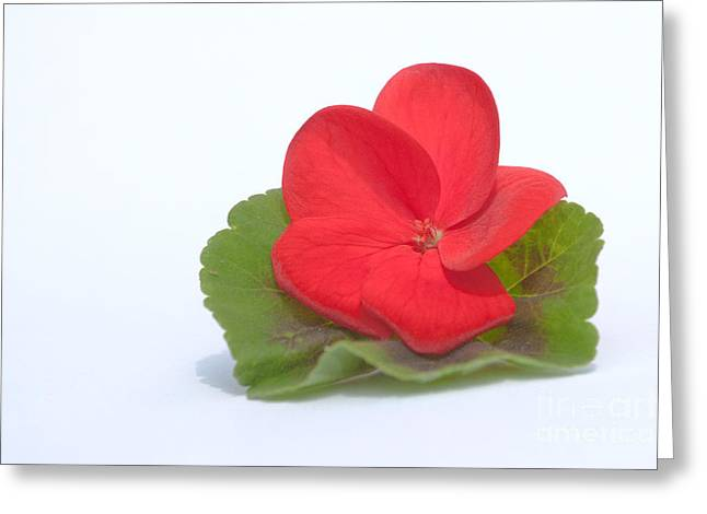Print Photographs Greeting Cards - Red Geranium Greeting Card by Terri  Waters