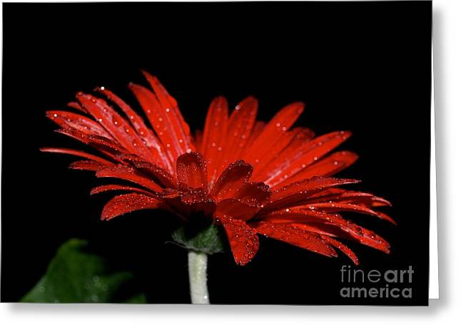 Red Photographs Pyrography Greeting Cards - Red Gerber Daisy at Night Greeting Card by Lisa  Telquist