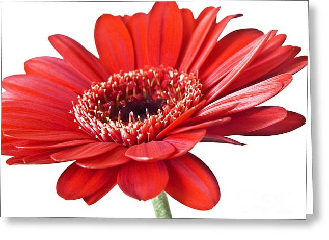 Daisy Framed Prints Greeting Cards - Red gerber daisy flower Greeting Card by Artecco Fine Art Photography