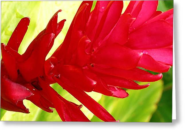 Red Ginger Greeting Cards - Red Ginger Flower Greeting Card by James Temple