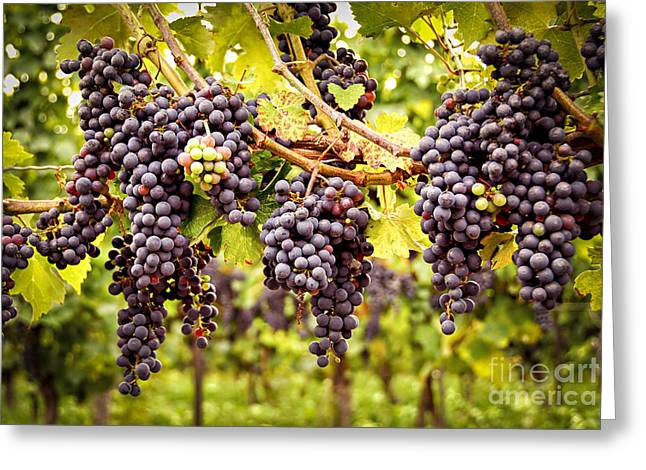 Blue Grapes Greeting Cards - Red grapes in vineyard Greeting Card by Elena Elisseeva