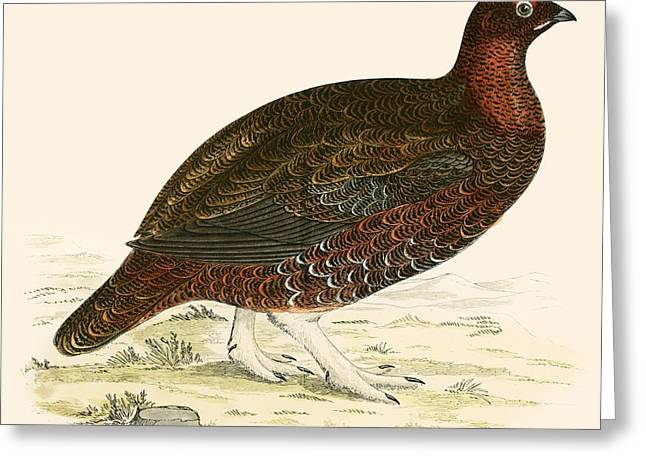 Hunting Bird Photographs Greeting Cards - Red Grouse Greeting Card by Beverley R. Morris