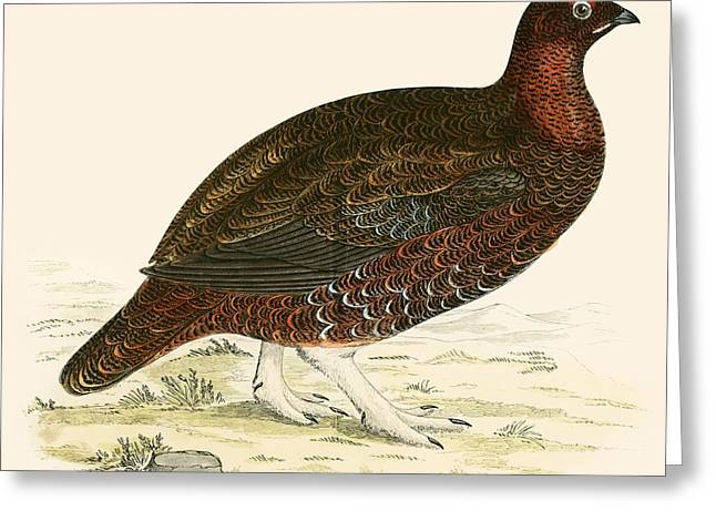 Red Grouse Greeting Card by Beverley R Morris