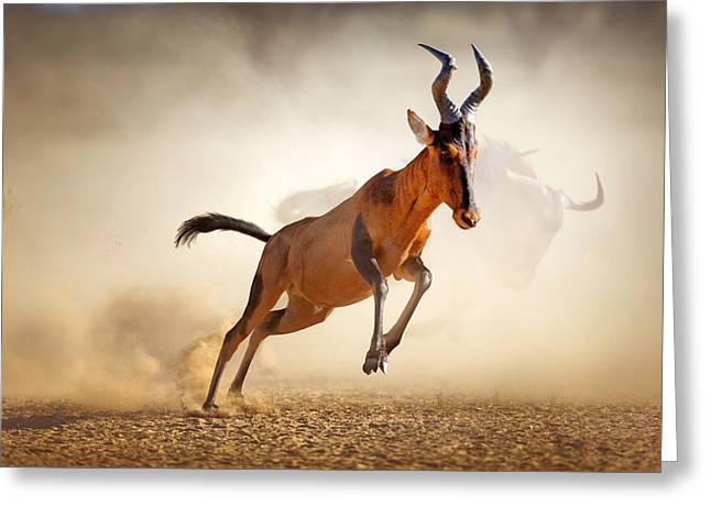 Mid-air Greeting Cards - Red hartebeest running in dust Greeting Card by Johan Swanepoel