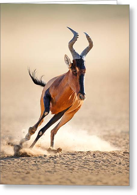 Energy Greeting Cards - Red hartebeest running Greeting Card by Johan Swanepoel