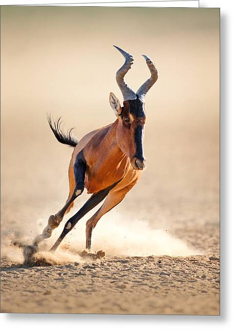 Energy Photographs Greeting Cards - Red hartebeest running Greeting Card by Johan Swanepoel