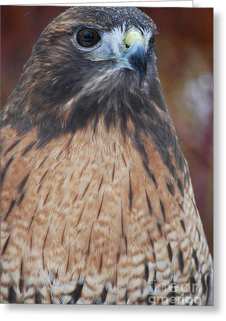 Preditor Photographs Greeting Cards - Red Hawk II Greeting Card by Sharon Elliott