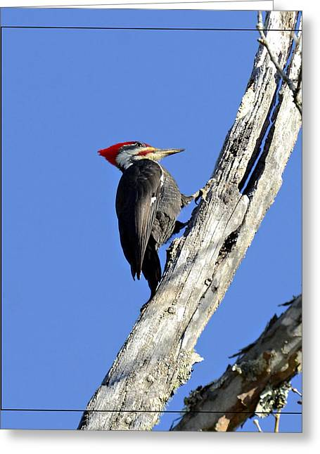 Red Headed Woodpecker Greeting Card by Susan Leggett