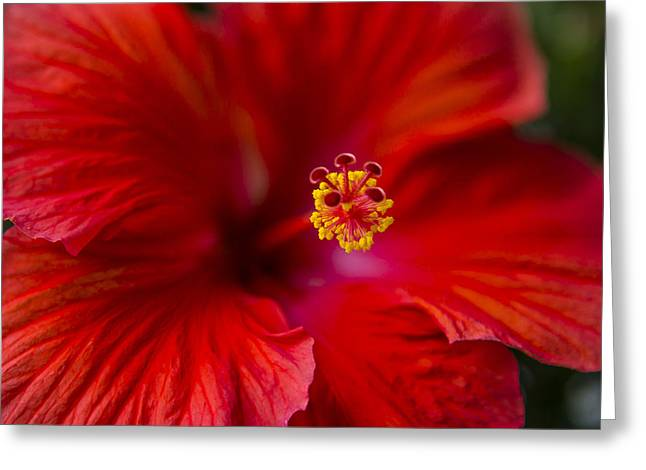 Stigma Greeting Cards - Red Hibiscus Greeting Card by Eduard Moldoveanu
