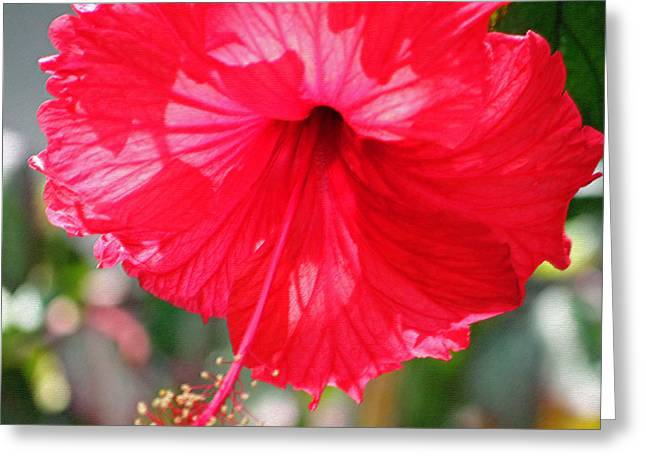 Backlit Prints Greeting Cards - Red Hibiscus Enhanced Greeting Card by Suzanne Gaff