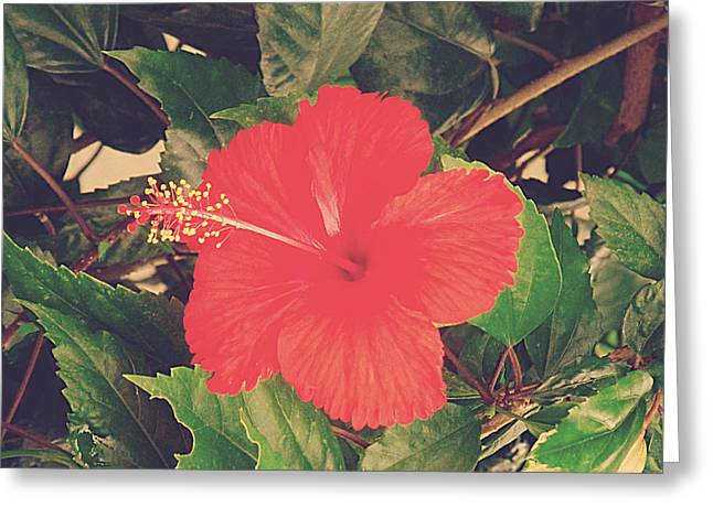 Red Photographs Pyrography Greeting Cards - Red Hibiscus Flower Greeting Card by Girish J
