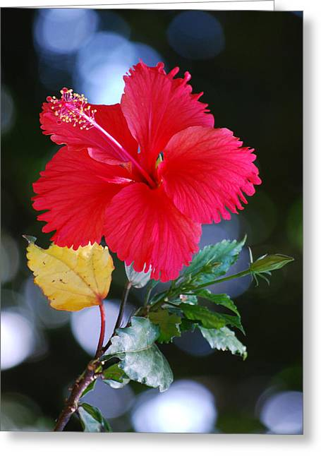Red Hibiscus Flower Greeting Card by Michelle Wrighton