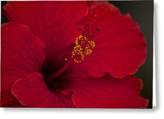 Cedar Key Greeting Cards - Red Hibiscus Greeting Card by Penny Meyers