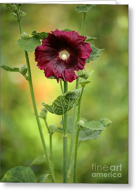 Florida Flowers Greeting Cards - Red Hollyhock Greeting Card by Sabrina L Ryan