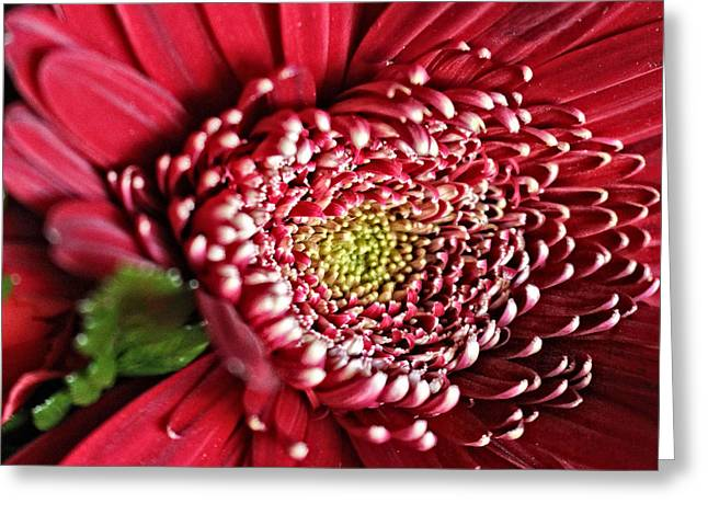 Saloons Greeting Cards - Red Hot Gerber Daisy Color Greeting Card by Ella Kaye Dickey