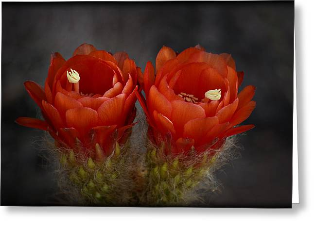 Torch Cactus Greeting Cards - Red Hot Pair  Greeting Card by Saija  Lehtonen