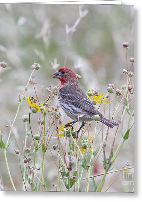 House Finch Greeting Cards - Red House Finch in Flowers Greeting Card by Robert Frederick