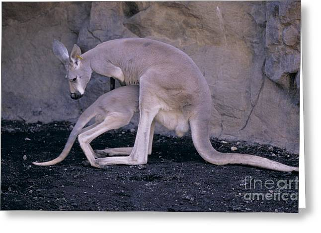 Red Kangaroo. Australia Greeting Card by Art Wolfe