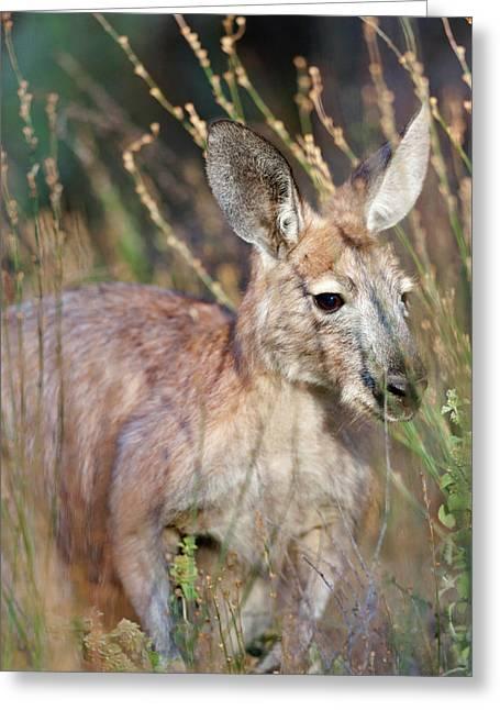 Red Kangaroo (macropus Rufus Greeting Card by Martin Zwick