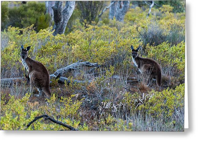 Rufus Greeting Cards - Red Kangaroo Macropus Rufus Greeting Card by Panoramic Images