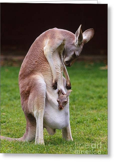 Kangaroo Greeting Cards - Red Kangaroo Mother And Young, Australia Greeting Card by Art Wolfe