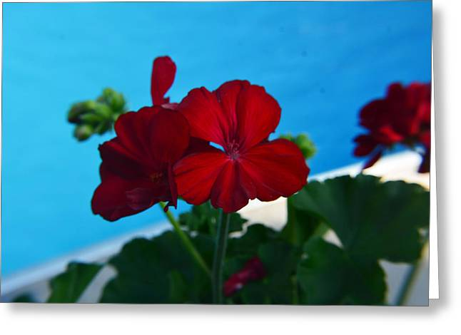 Red Geraniums Greeting Cards - Red Greeting Card by Katie McCranie