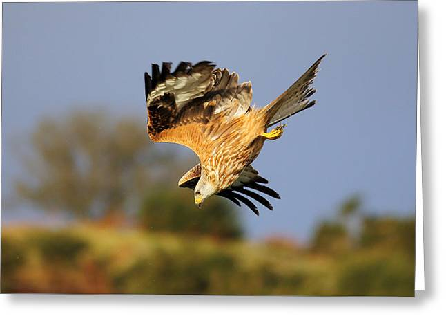 Kite Greeting Cards - Red Kite diving Greeting Card by Grant Glendinning