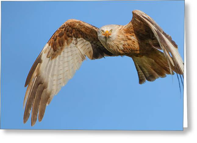 Morph Greeting Cards - Red kite eye contact Greeting Card by Izzy Standbridge