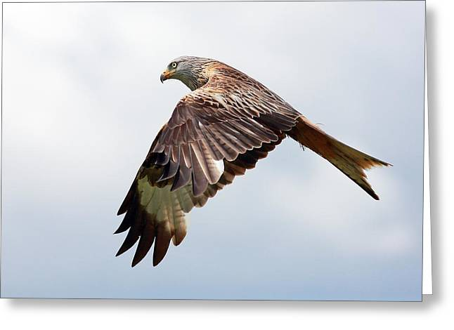 Flying Bird Greeting Cards - Red Kite flight Greeting Card by Grant Glendinning