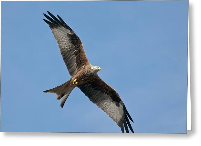 Red Kite Greeting Cards - Red kite in flight Greeting Card by Gary Eason