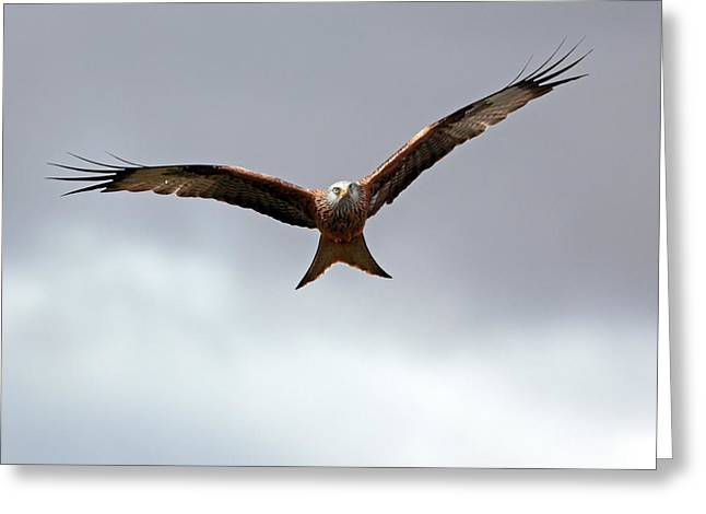 Raptor In Flight Greeting Cards - Red Kite in flight Greeting Card by Grant Glendinning