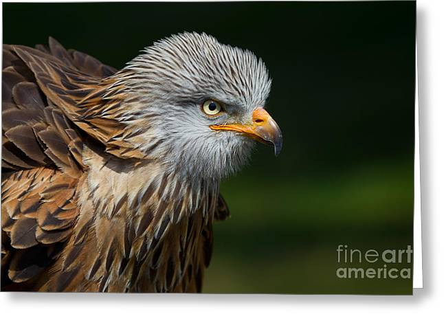 Kite Greeting Cards - Red Kite Greeting Card by Marcus Bosch