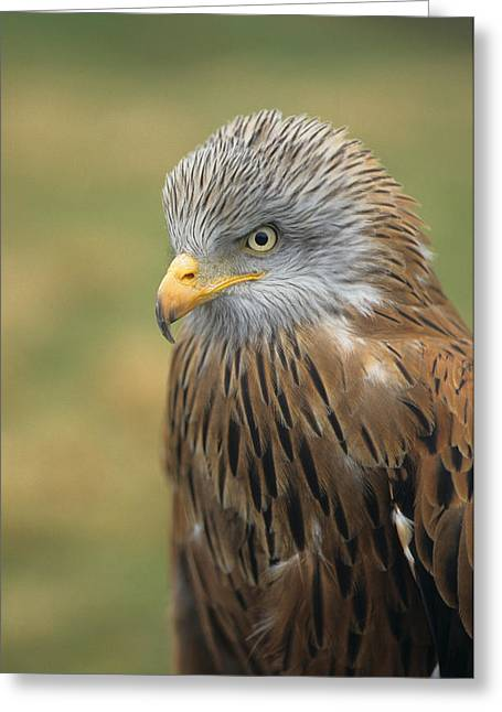 Kite Greeting Cards - Red Kite Greeting Card by Martin Withers