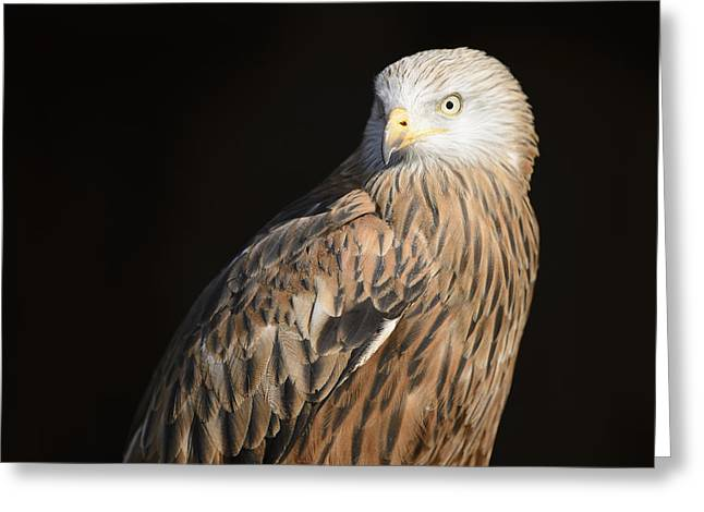 Kite Art Greeting Cards - Red kite portrait Greeting Card by Andy-Kim Moeller