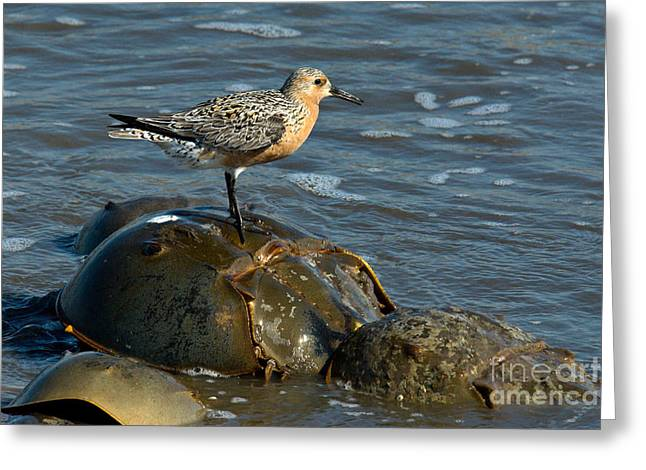 Mixed Species Greeting Cards - Red Knot On Horseshoe Crab Greeting Card by Mark Newman