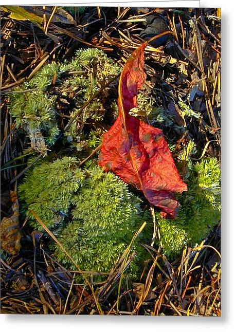 Pine Needles Greeting Cards - Red Leaf on Moss Greeting Card by Douglas Barnett