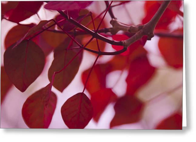 Spurge Greeting Cards - Red Leaves Greeting Card by Sharon Mau
