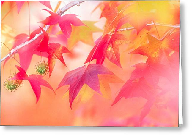 Red Leaves With Backlit, Autumn Greeting Card by Panoramic Images